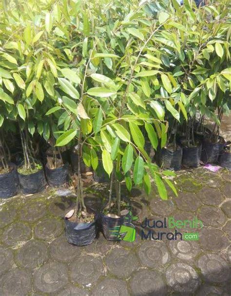 Bibit Durian Merah bibit durian merah 3 kaki unggul 70cm jualbenihmurah
