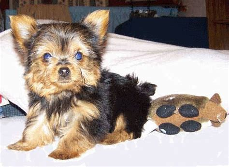 yorkies for sale in atlanta yorkie puppy for sale atlanta ga breeds picture