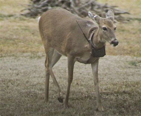 how to your to track deer what will tracking collars reveal about these deer deer deer whitetail