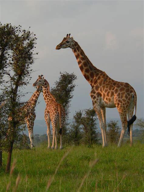 imagenes de jirafas apareandose algo sobre las jirafas taringa