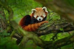 Baum Mit Roten Bl Ttern 136 by Netter Roter Panda Stock Abbildung Illustration