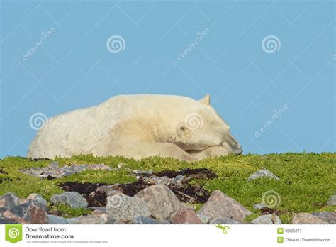 sleeping polar on the grass royalty free stock photography image 35055277
