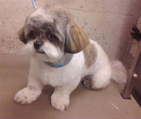 teddy cut on shih tzu best photos of teddy cut shih tzu shih tzu teddy cut teddy cut shih