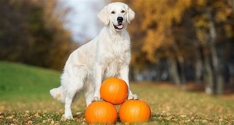 can dogs eat pumpkin pie your ultimate guide to dogs and pumpkin can my eat pumpkin rescue dogs 101
