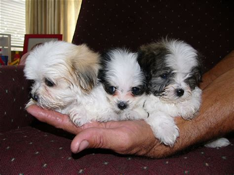 shih tzu maltese for sale maltese shih tzu puppies for sale zoe fans baby animals