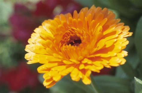 fiori per i morti i crisantemi e la commemorazione dei defunti pollicegreen