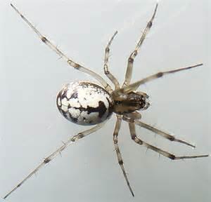 White Spider Black And White Spider Sk 29 Microlinyphia Impigra