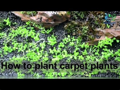 Aquascaping For Beginners by Aquascaping For Beginners How To Plant Carpet Plants