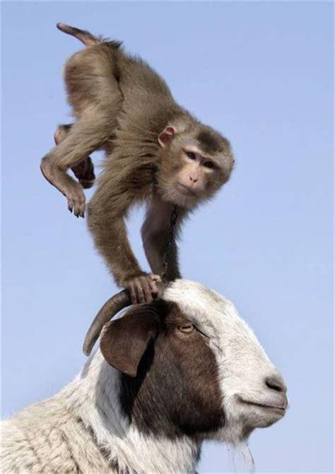new year monkey and goat monkey goat 1funny