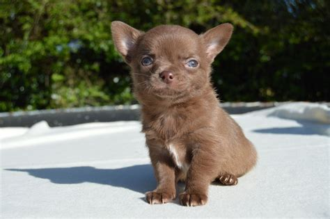 chocolate chihuahua puppies gorgeous chocolate chihuahua puppies for sale norwich norfolk pets4homes