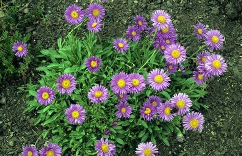 kanaldeckel im garten versch nern 5 gartenblumen die auch im herbst herrlich weiterbl 252 hen