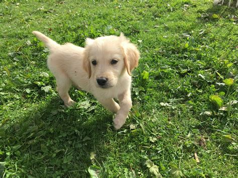 boston golden retriever breeders golden retriever puppies boston lincolnshire pets4homes
