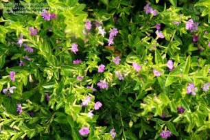 plant identification closed small shrub with pink