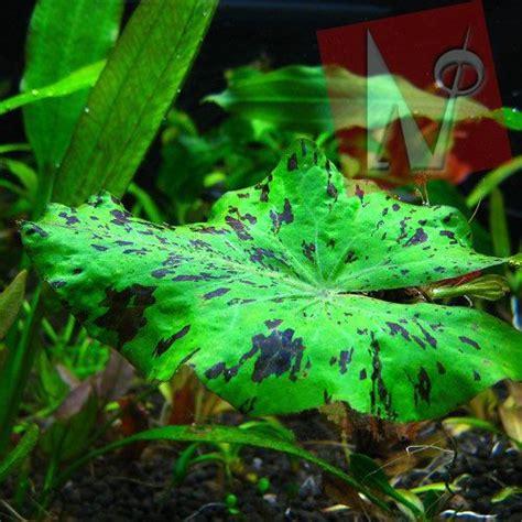 lotus tiger 15 best aquarium ideas and design images on