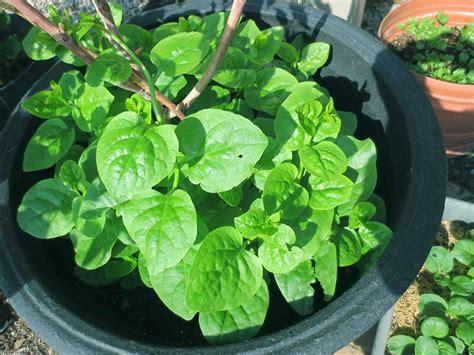 grow malabar spinach ebay
