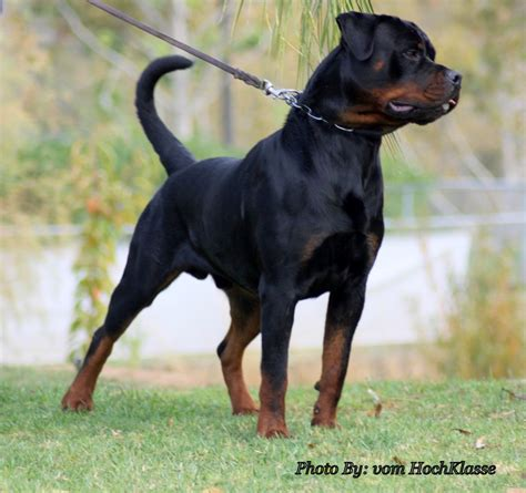 king rottweilers king vom hochklasse contact german rottweilers california usa