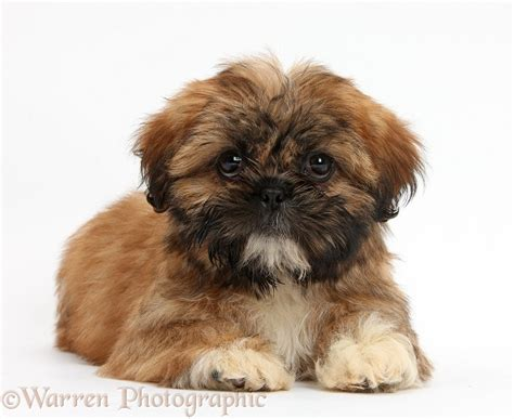 shih tzu lying brown shih tzu pup lying with up photo wp38154