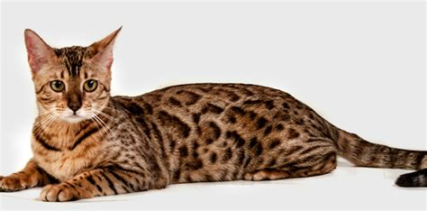 can a and cat mate serengeti cat breed cats breeds care
