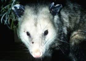 how to get rid of possums in the yard ehow