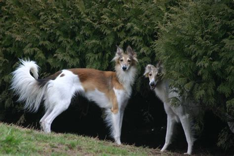 Silken Windhound History, Personality, Appearance, Health
