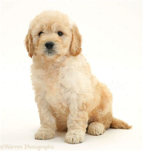 Awesome Miniature Dog Breeds #6: 38783-Miniature-Goldendoodle-pup-7-weeks-old-sitting-white-background.jpg