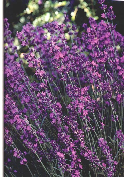 gardening tips for small spaces tips for using lavender