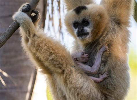 adelaide zoo welcomes  critically endangered white cheeked gibbon baby