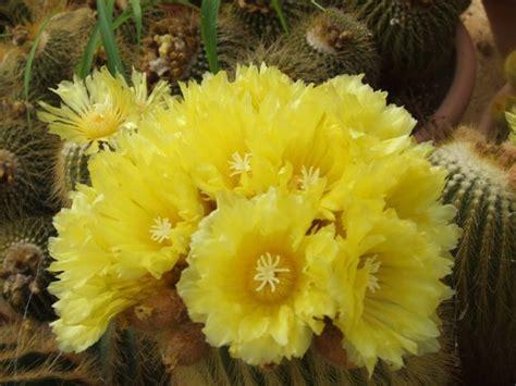 cactus fioriti vendita cactus fioriti e piante grasse a imperia sihappy