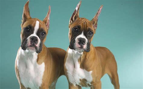 Hochwertige Bilder by Freche Boxer Hund Bilder Qualitativ Hochwertige Fotos