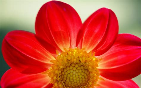 wallpaper flower red red daisy wallpaper 242899