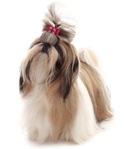 shih tzu and precious paws rescue 1000 images about shih tzu on maltese pets and brussels griffon puppies