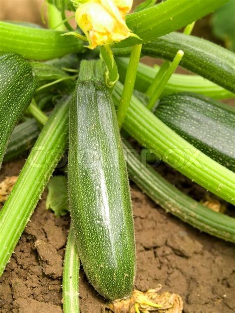 Green Zucchini T1310 2 green zucchini vegetable growing on the vegetable bed stock photo colourbox