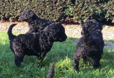 poodle puppies for sale standard poodle puppies for sale colchester essex pets4homes