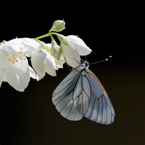pattern for butterfly jasmine paper flower blossom water jasmine and butterfly blossom water