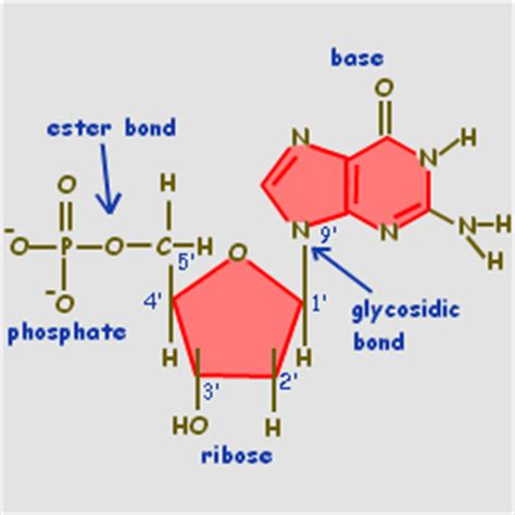 diagram of nucleotide nucleotides