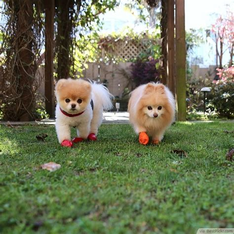 boo pomeranian breed pomeranian most beautiful breed of in the world breeds picture