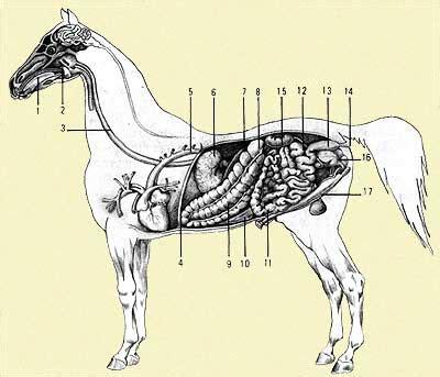 addome organi interni anatomia cavallo cuore che batte a tempo di galoppo