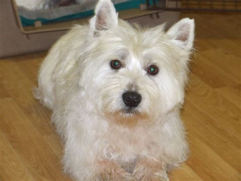westie for sale 4 year westie for sale biggar lanarkshire pets4homes