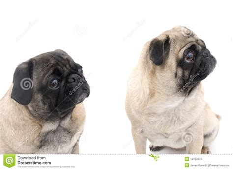 two pugs two pugs sitting royalty free stock photo image 12754075