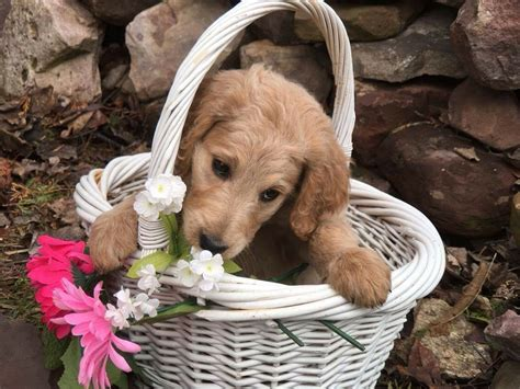 Shed Dogs For Sale by Quot Quot F1b Standard Golden Doodle Smooth Coat 1 200 Smart And Sweet Orchard