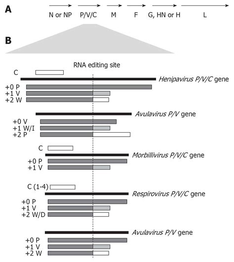 v protein paramyxovirus paramyxovirus evasion of innate immunity diverse