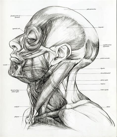 Sketches Def by Anatomy Sketches Muscles Drawings 1923x2256 Wallpaper High