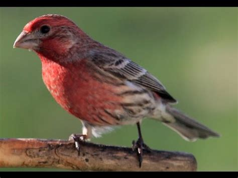 what do house finches eat purple finch eating oregon youtube