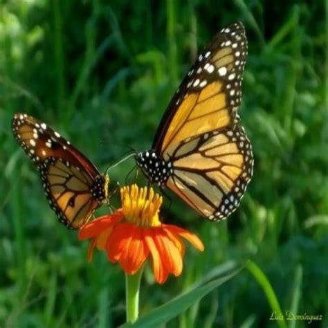 imagenes con mariposas bonitas hermosos paisajes naturales mariposas imagenes bonitas