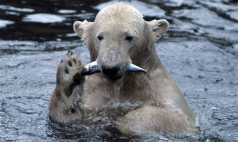 Science Monday Knut Is An Animal Psychopath by Save Intruder From Knut The Polar S Home At