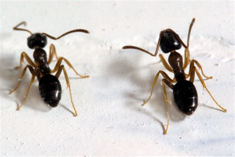 tiny ants in house identifying household ants insects in the city