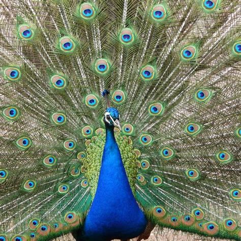 www miraculos de pavo real best 25 el pavo real ideas on pinterest arte pavo real