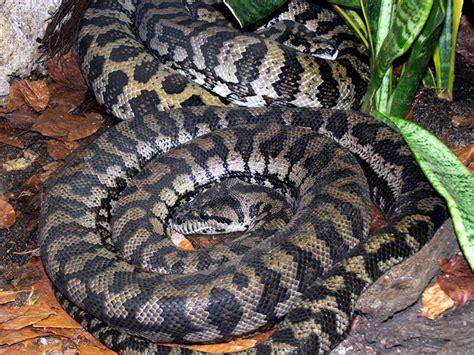 Which Animal Occupies A Rainforest Floor Niche - carpet pythons
