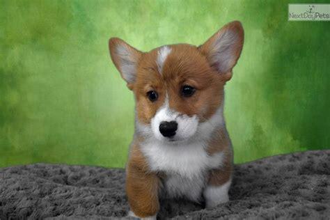 corgi puppies for sale san diego andrew corgi puppy for sale near san diego california 7876f37d b651