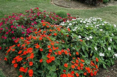 plant heat l home depot sunpatiens dallas arboretum trial program growing a
